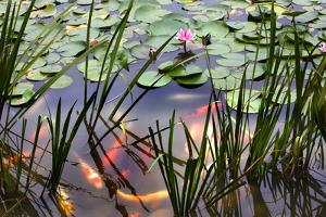 Orange White Carp Fish Pink Water Lily Pond Chengdu Sichuan, China by William Perry