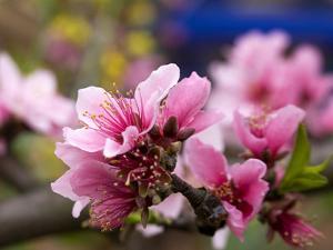 Peach Blossom Close Macro, Village, Chengdu, Sichuan, China by William Perry