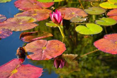 Pink Water Lilly Pond Reflection Mission San Juan Capistrano Garden California