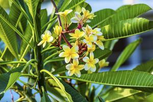 Plumeria Frangipani Blossoms. Sea of Galilee. Israel. by William Perry