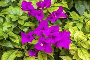 Purple Bougainvillea, San Miguel de Allende, Mexico by William Perry
