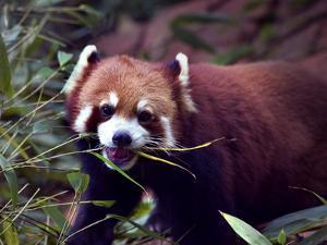 Red Panda Shining Cat Eating Bamboo, Chengdu, Sichuan, China by William Perry