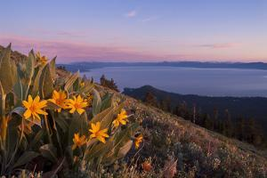 Sunset and Yellow Mules Ears Flowers above Lake Tahoe in California by William Stevenson