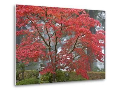 A Maple Tree at the Portland Japanese Garden, Oregon, USA