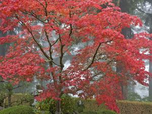 A Maple Tree at the Portland Japanese Garden, Oregon, USA by William Sutton
