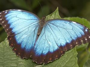 Blue Morpho Butterfly, Green Hills Butterfly Farm, Belize by William Sutton