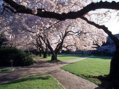 Cherry Blooms at the University of Washington, Seattle, Washington, USA