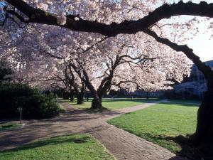 Cherry Blooms at the University of Washington, Seattle, Washington, USA by William Sutton