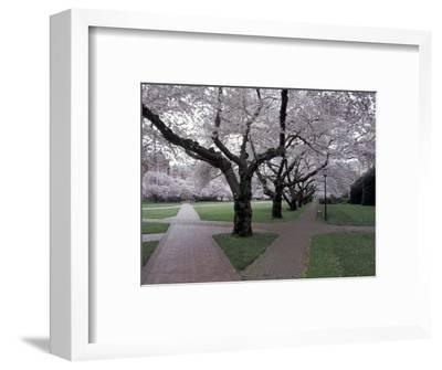 Cherry Blossoms on the University of Washington Campus, Seattle, Washington, USA