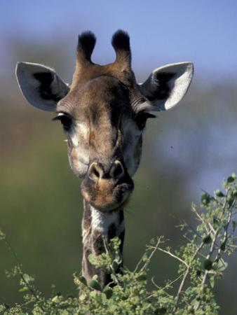 Close-up of Giraffe Feeding, South Africa by William Sutton