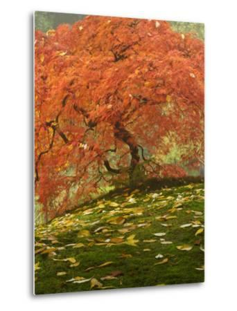Japanese Maple at the Portland Japanese Garden, Oregon, USA