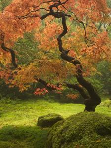 Japanese Maple at the Portland Japanese Garden, Oregon, USA by William Sutton