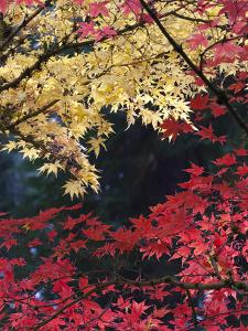 Maple Trees, Portland Japanese Garden, Oregon, USA by William Sutton