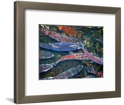 Migrating Salmon, Washington, USA