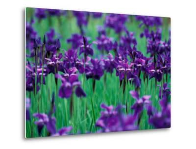 Purple Iris at Weyerhaeuser Rhododendron Display, Washington, USA