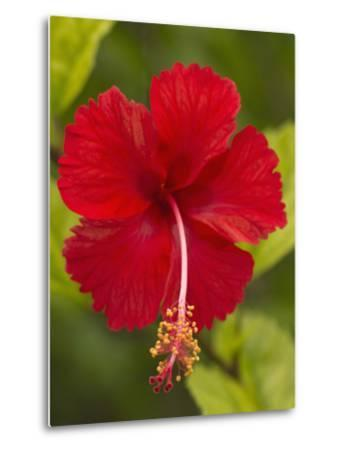 Red Hibiscus, Hibiscus Rosa-Sinensis, Belize