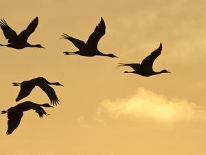 Sandhill Cranes (Grus Canadensis) Flying at Dawn, Platte River, Nebraska, USA by William Sutton