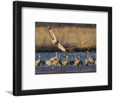 Sandhill Cranes (Grus Canadensis) Flying at Dusk, Platte River, Nebraska, USA