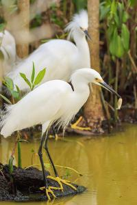 Snowy Egret with fish, Ding Darling National Wildlife Refuge, Sanibel Island, Florida. by William Sutton