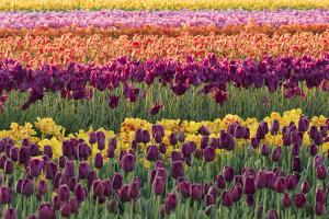 Tulip blooms, Wooden Shoe tulip farm, Woodburn, Oregon. by William Sutton