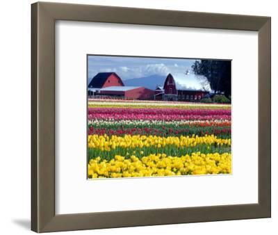 Tulip Display Field, Washington, USA