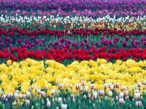 Tulips in Display Field, Washington, USA by William Sutton