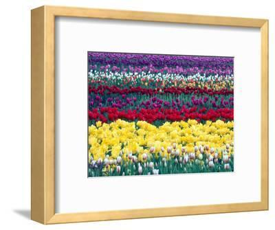 Tulips in Display Field, Washington, USA