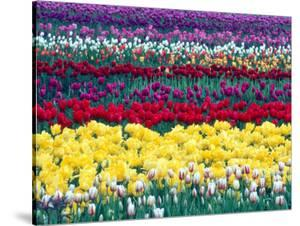 Tulips in Display Field, Washington, USA by William Sutton