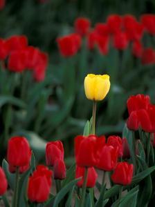 Yellow Tulip, Skagit Valley, Washington, USA by William Sutton