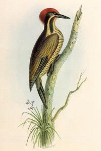 Brazilian Woodpecker, Pica Braziliensis Swainson by William Swainson