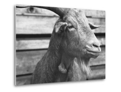 "Portrait of ""Red"", a Judas Goat Who Leads Sheep into the Slaughter House"