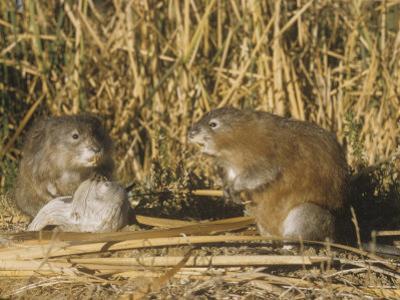 Muskrats (Ondatra Zibethicus) in a Marsh Habitat, USA by William Weber