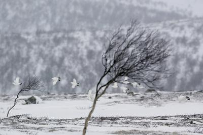 Willow Grouse (Lagopus Lagopus) Flock in Flight in Snow, Utsjoki, Finland, October-Markus Varesvuo-Photographic Print