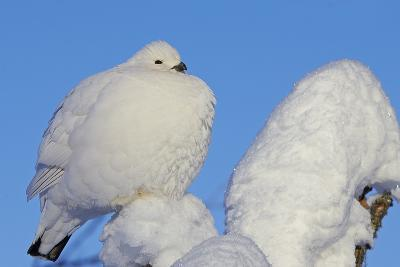Willow Grouse - Ptarmigan (Lagopus Lagopus) Fluffed Up Perched in Snow, Inari, Finland, February-Markus Varesvuo-Photographic Print