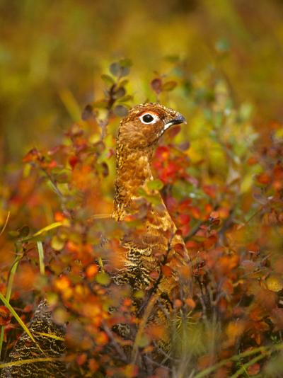 Willow Ptarmigan in Fall Foliage, Denali National Park, Alaska-Michael S^ Quinton-Photographic Print
