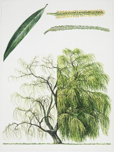 Willow (Salix L.)--Giclee Print