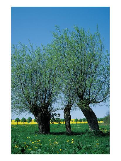 Willows In The Spring--Art Print