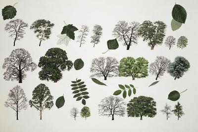 Willows (Salix Sp.)--Giclee Print
