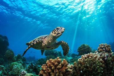 Beautiful Underwater Postcard. Maldivian Sea Turtle Floating up and over Coral Reef. Loggerhead in