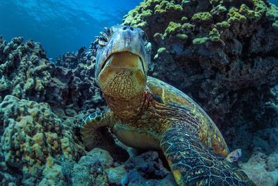 Beautiful Underwater Wildlife Postcard. Hawaiian Sea Turtle Honu Getting Rest in Coral Reef. Wild N