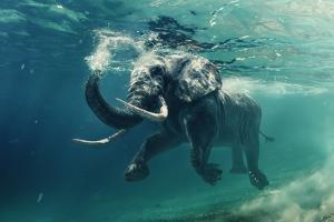 Swimming Elephant Underwater. African Elephant in Ocean with Mirrors and Ripples at Water Surface. by Willyam Bradberry