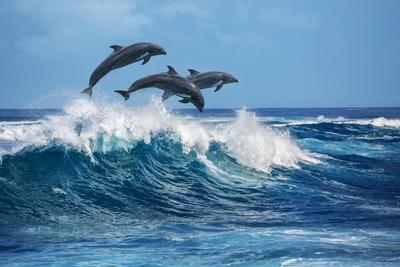 Three Beautiful Dolphins Jumping over Breaking Waves. Hawaii Pacific Ocean Wildlife Scenery. Marine