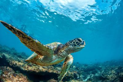 Underwater Marine Wildlife Postcard. A Turtle Sitting at Corals under Water Surface. Closeup Image