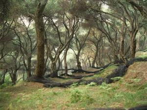 Grove of Olive Trees at Paroa, Greece, Europe by Wilson Loraine