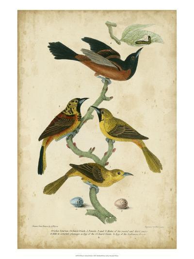 Wilson's Orchard Oriole-Alexander Wilson-Art Print
