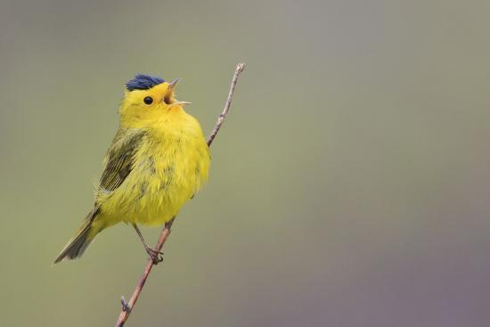 Wilson's Warbler Singing-Ken Archer-Photographic Print