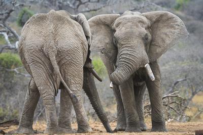 African Elephant (Loxodonta Africana) Two Bulls, Chyulu Hills, Kenya