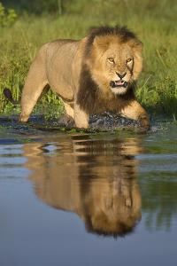 African Lion (Panthera Leo) Growling at Potential Danger in the Water (Panthera Leo) Okavango Delta by Wim van den Heever