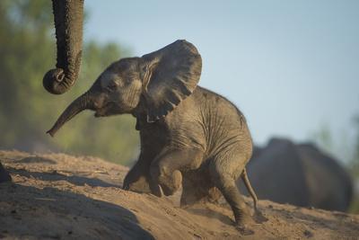 Baby African Elephant (Loxodonta Africana), Climbing Up A Riverbank, Chobe National Park, Botswana