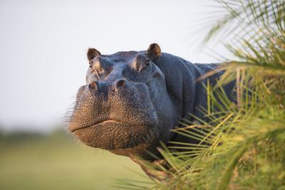 Hippopotamus (Hippopotamus Amphibius) Out of the Water, Peering around Vegetation